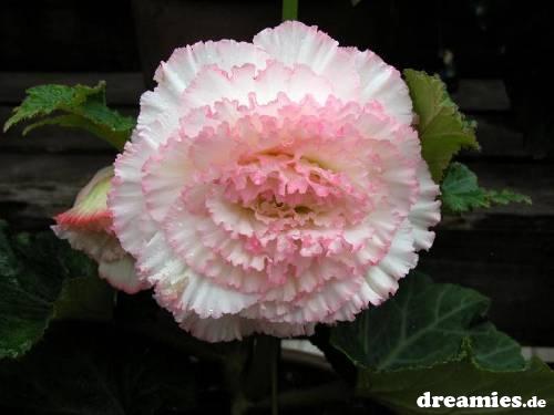 صور زهور منوعة Bcn510sjzw